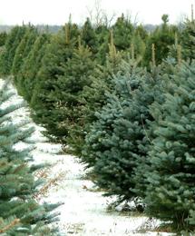Snowy Christmas tree lot.